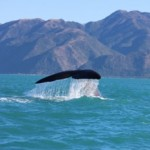 Walvissen spotten in Kaikoura